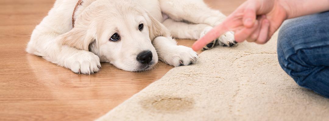 carpet-pet-urine-stains